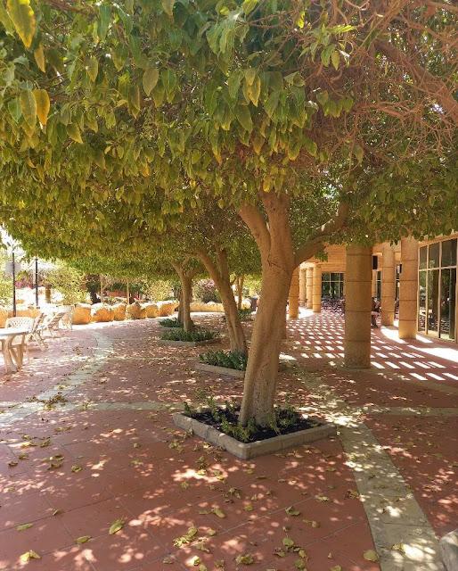 Large leafy tree on a western compound Riyadh