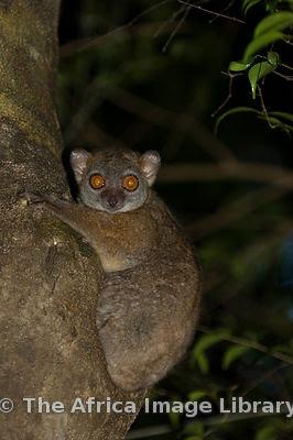 lemur deportivo de Ankarana Lepilemur ankaranensis