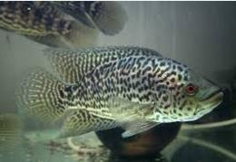 Ikan Predator Air Tawar bergigi tajam