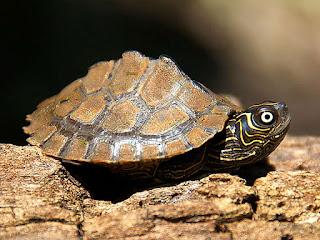 merawat-kura-kura-mississippi.jpg