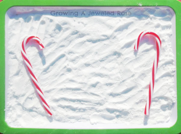 Make candy cane eruptions using baking soda and vinegar.  This holiday experiment is fun for all ages! #candycaneexperiment #candycaneeruptions #fizzingcandycanes #christmasscienceexperimentsforkids #growingajeweledrose #candycane