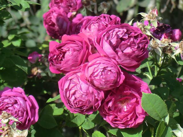 flytning af roser