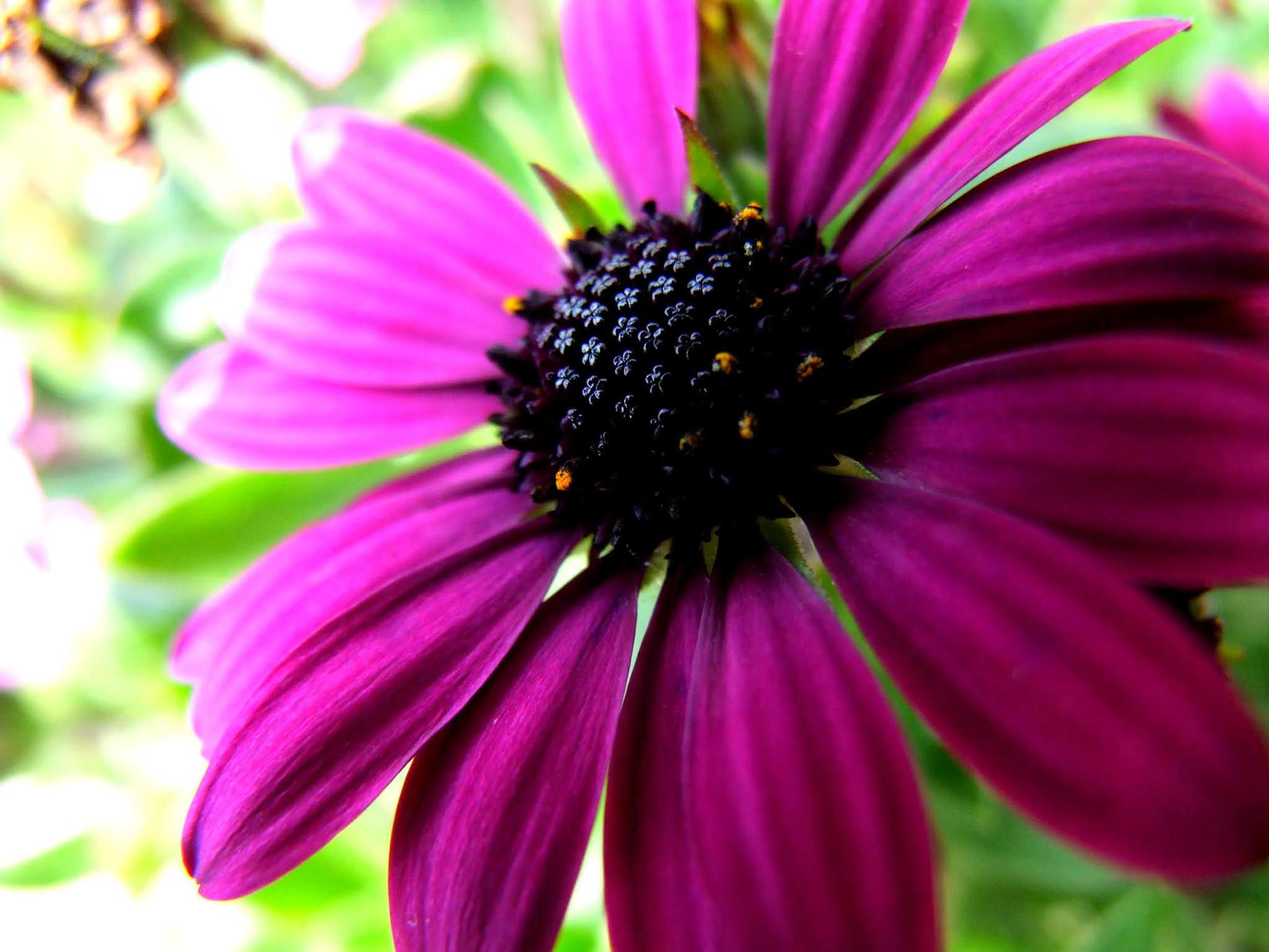 キンセンカ(ディモルフォセカ)の花の写真素材です。紫が鮮やかでキレイですよね。花芯も特徴的で可愛いです。