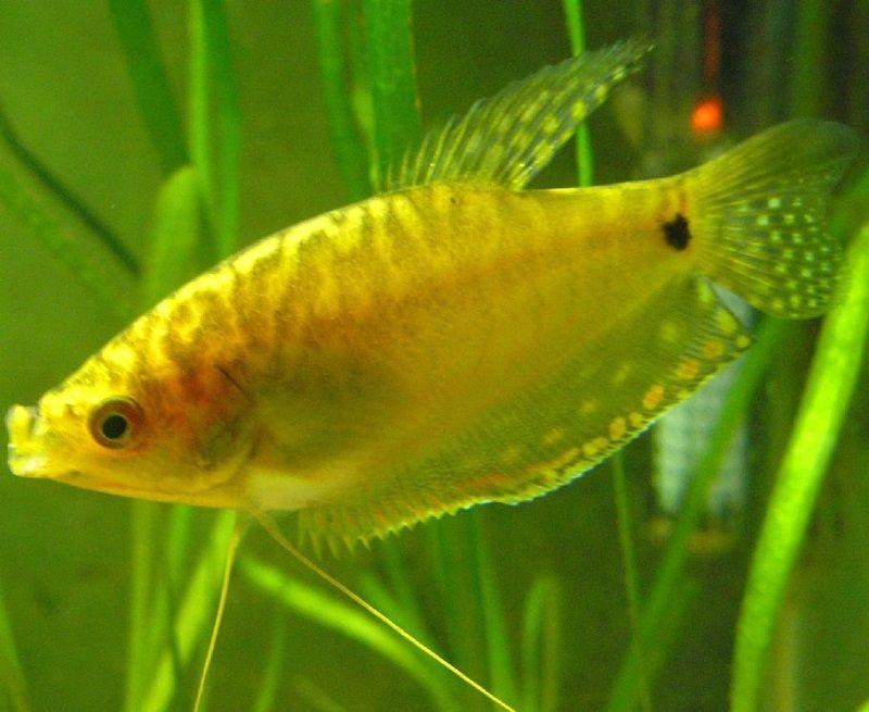 Gambar Ikan Sepat Hias Kuning
