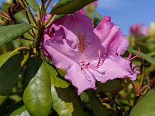 Einzelne Rhododendronblüte