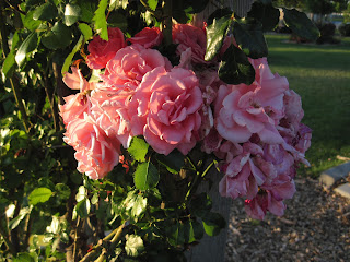 Cluster of pink roses.