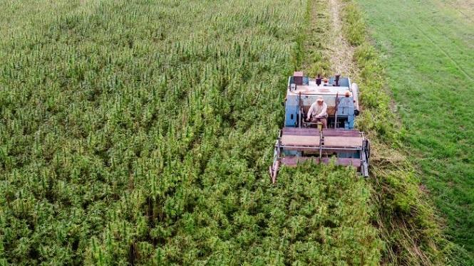 Mendoza aprobó el procedimiento para la producción de cannabis medicinal