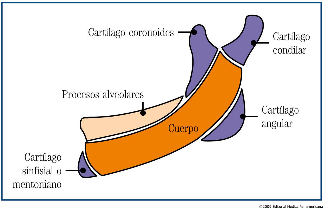 formacion de cartilago en el embrion