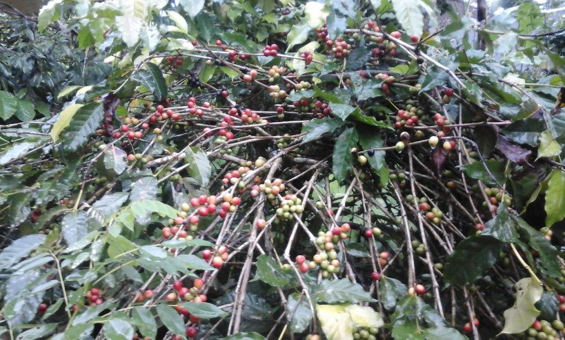 Coffee and Fruit Plantations