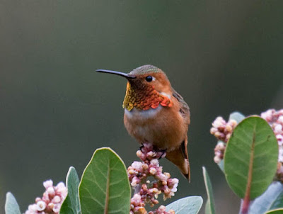 Photo of a male Allen's Hummingbird on a flowering bush