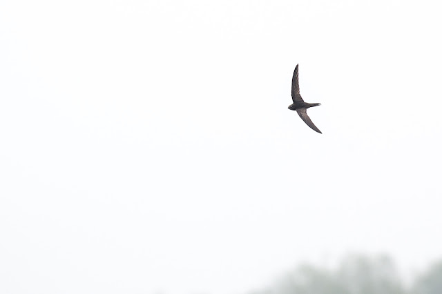 Common Swift in flight