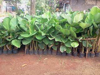 Jual pohon pisang kalatea harga murah