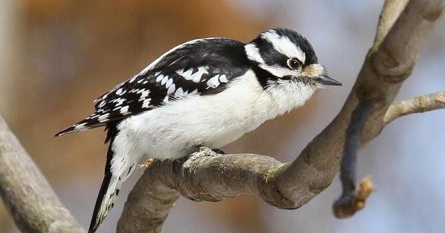 Birding Is Fun The Midwest Woodpecker Drill Team