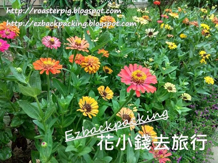 香港百日菊