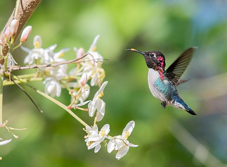 Bee Hummingbird, Burung Kecil Paling Lincah di Dunia