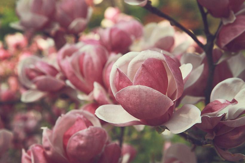 magnolia park flowers