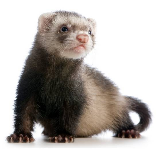 Animals That Start With F - Ferret