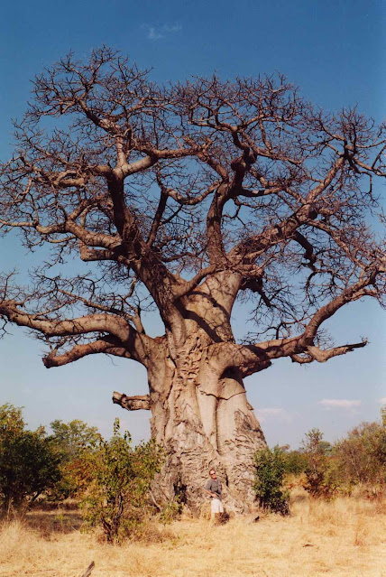 Baobab gigante sem folhas não está morrendo é uma peculiaridade de sua natureza que os 'verdes' também desconhecem