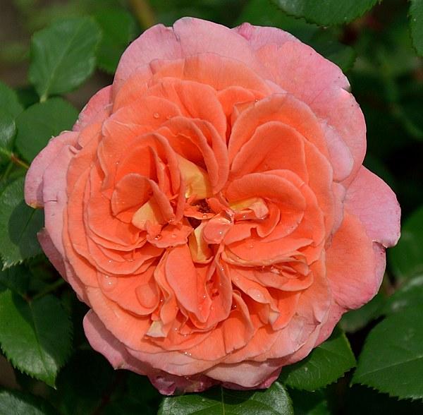 Notre Dame du Rosaire роза фото