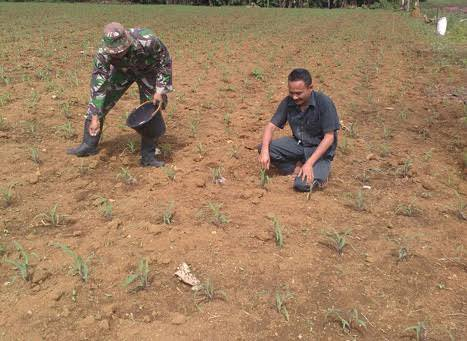 Pemupukan Tanaman Jagung didampingi Sertu Frayetno di Desa Denai Lama