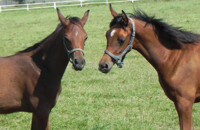 Zdjęcie dwóch koni