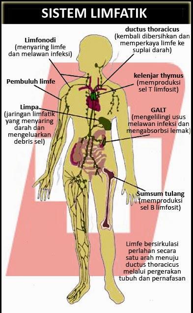 It is made up of 24 bones known as vertebrae, according to spine universe. Sistem limfatik | Biologi : Sistem Kekebalan Tubuh
