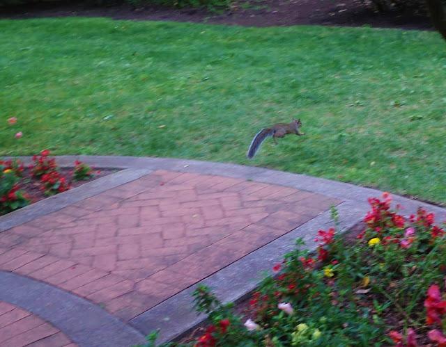 esquilo pulando em um jardim