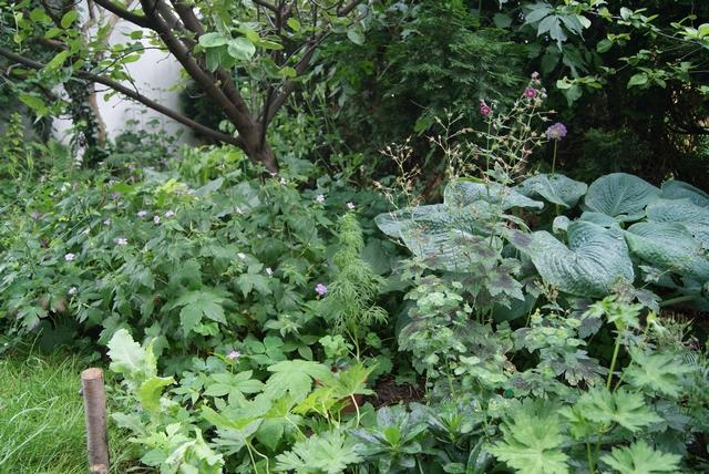 Bergwald-Storchschnabel (Geranium nodosum) blüht im Schatten