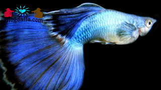 Jenis ikan guppy young pair champion purple