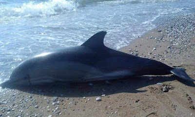 Νεκρό δελφίνι εντοπίστηκε στην παραλία της Πλαταριάς