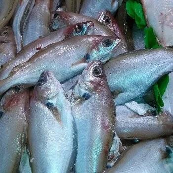 मोदक, Whiting fish name in Marathi