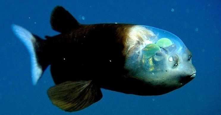 Barreleye Balığı derin deniz canlıları arasındaki en tuhaf görünüşe sahiptir.