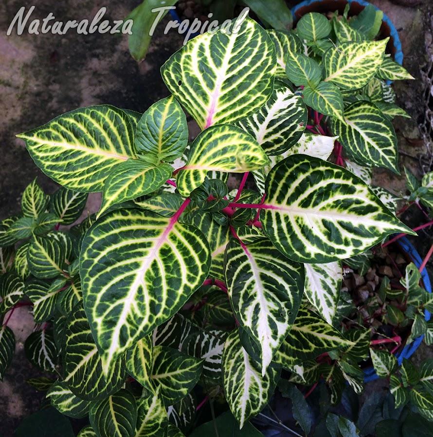Especie del género Iresine comenzando a colorear de rojo-violáceo los peciolos de las hojas (próximamente la nerviación completa)