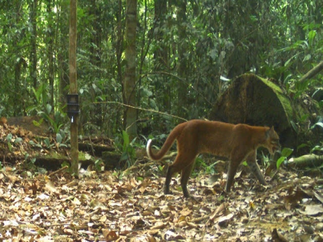 Harimau Sumatera dan Sejumlah Satwa Dilindungi Terekam Camera Trap di Angkola Selatan