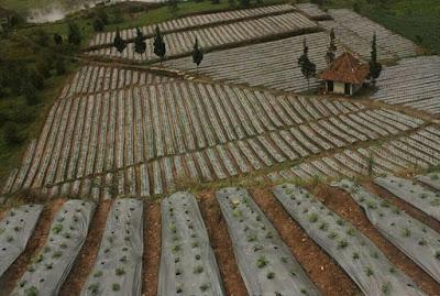 pengolahan tanah tanaman tomat