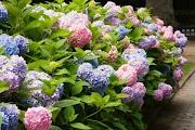 (ENEM 2019)  A Hydrangea macrophylla é uma planta com flor azul ou cor-de-rosa, dependendo do pH do solo no qual está plantada. Em solo ácido (ou seja, com pH < 7) a flor é azul, enquanto que em solo alcalino (ou seja, com pH > 7) a flor é rosa.