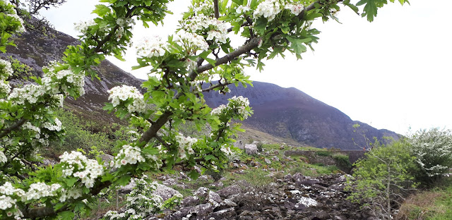Vaeltaminen irlannissa, vaeltaminen, irlanti, killarney, cap of dunloe, vuoristo, karut maisemat, puu kukassa
