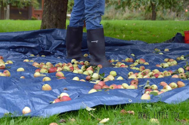 Äpfel Ferienhof Fischer Sörup