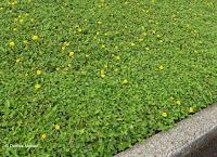 Ground cover with yellow flowers - Ho'omaluhia Botanical Garden, Kaneohe, HI