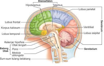 Bagian-bagian utama otak manusia dan Fungsinya Lengkap