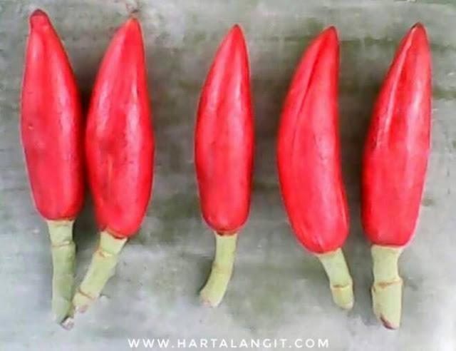 ganbar kembang kantil merah