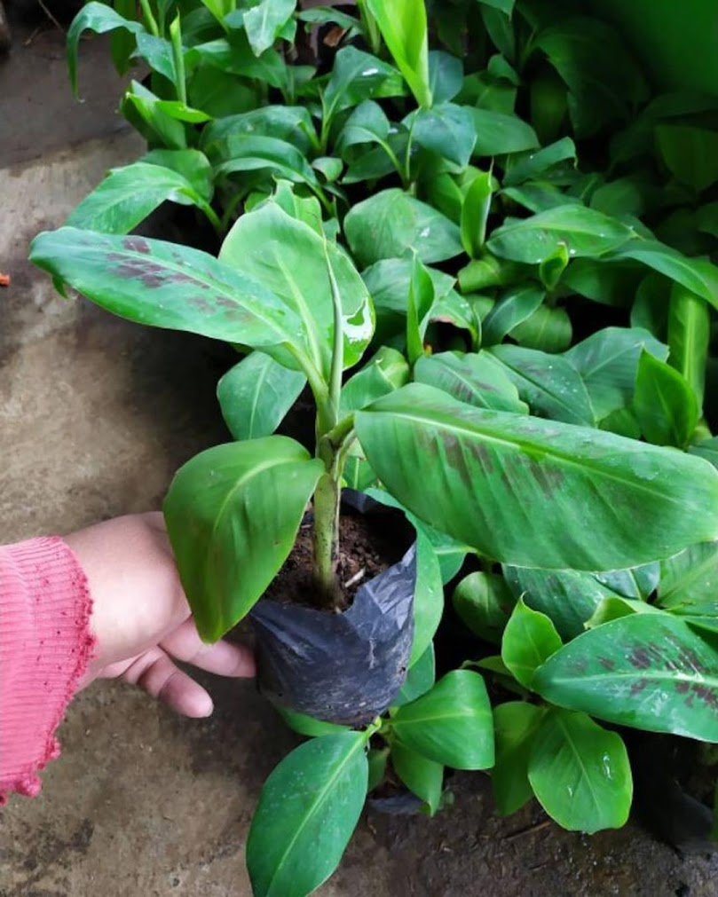 Bibit pisang cavendish kuning sunpride unggulan Kepulauan Riau