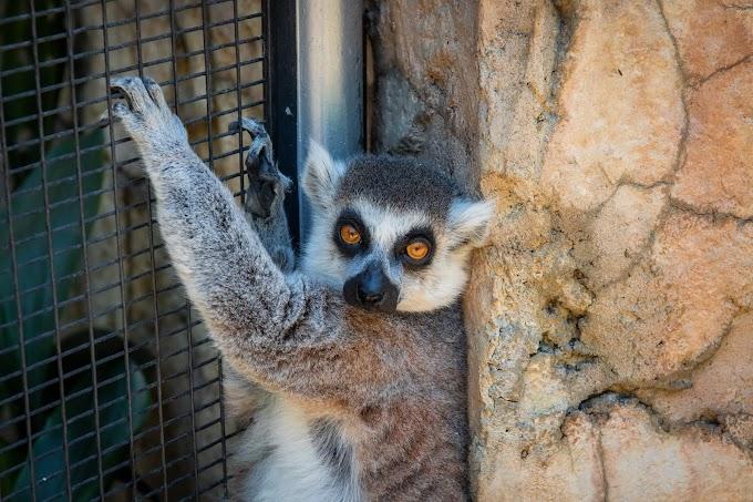 close-up-photo-of-lemur