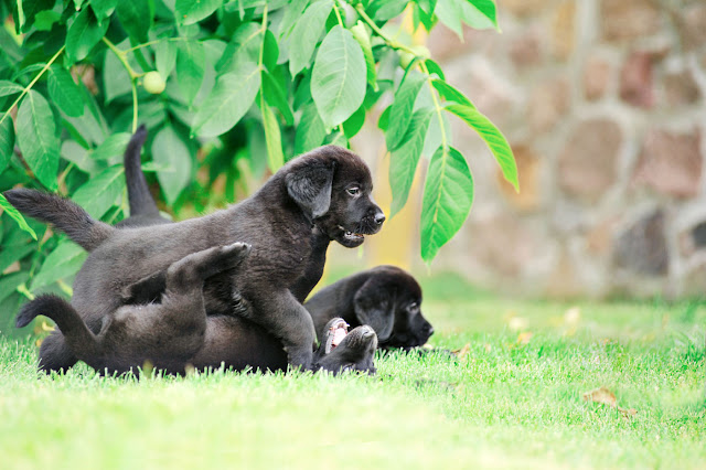 Why puppies play, like these three black Lab puppies playing together. And why play is an important part of puppy class (and how to get it right)