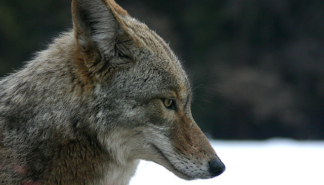 How coyotes conquered North America