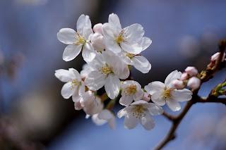 Cherry Blossom (Bunga Sakura)