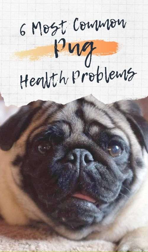 Most Common Pug Health Problems
