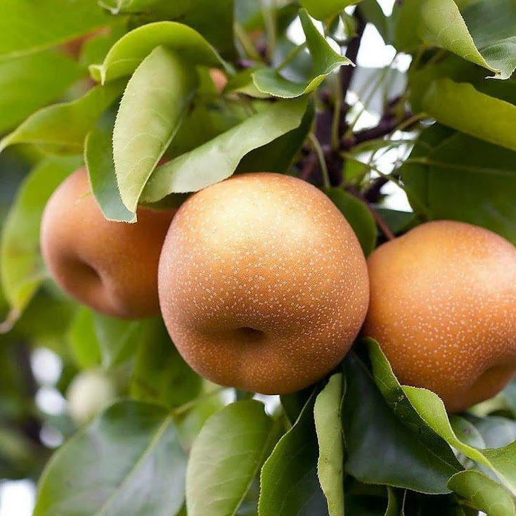 bibit pir golden tanaman buah pir golden pohon buah pir golden Kota Administrasi Jakarta Barat