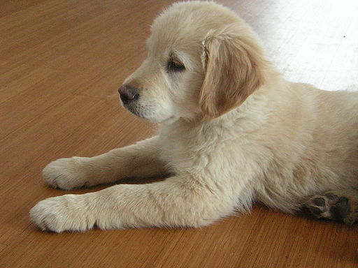 Golden retriever puppy names