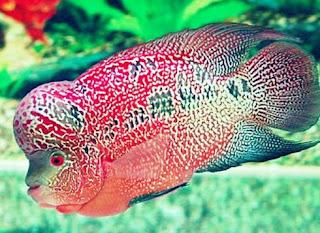 Makanan Ikan Louhan Biar Jenong Sehat dan Berkualitas